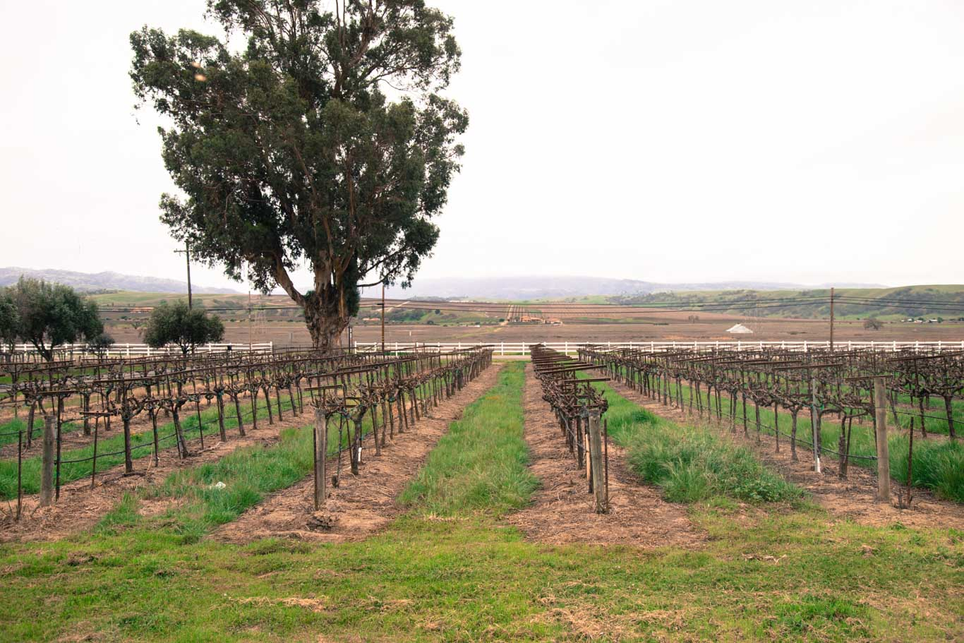 Rows of vines in Livermore Valley