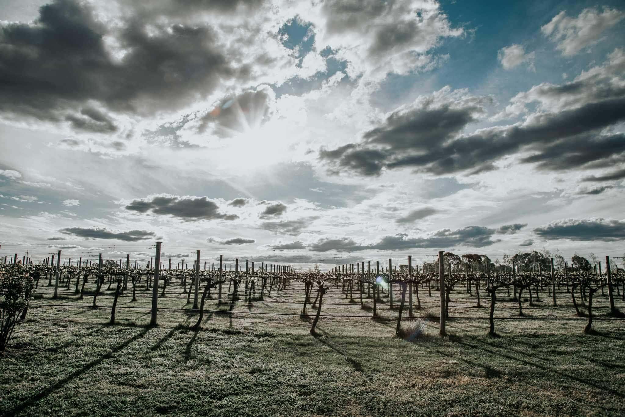 view of vines in orange australia.
