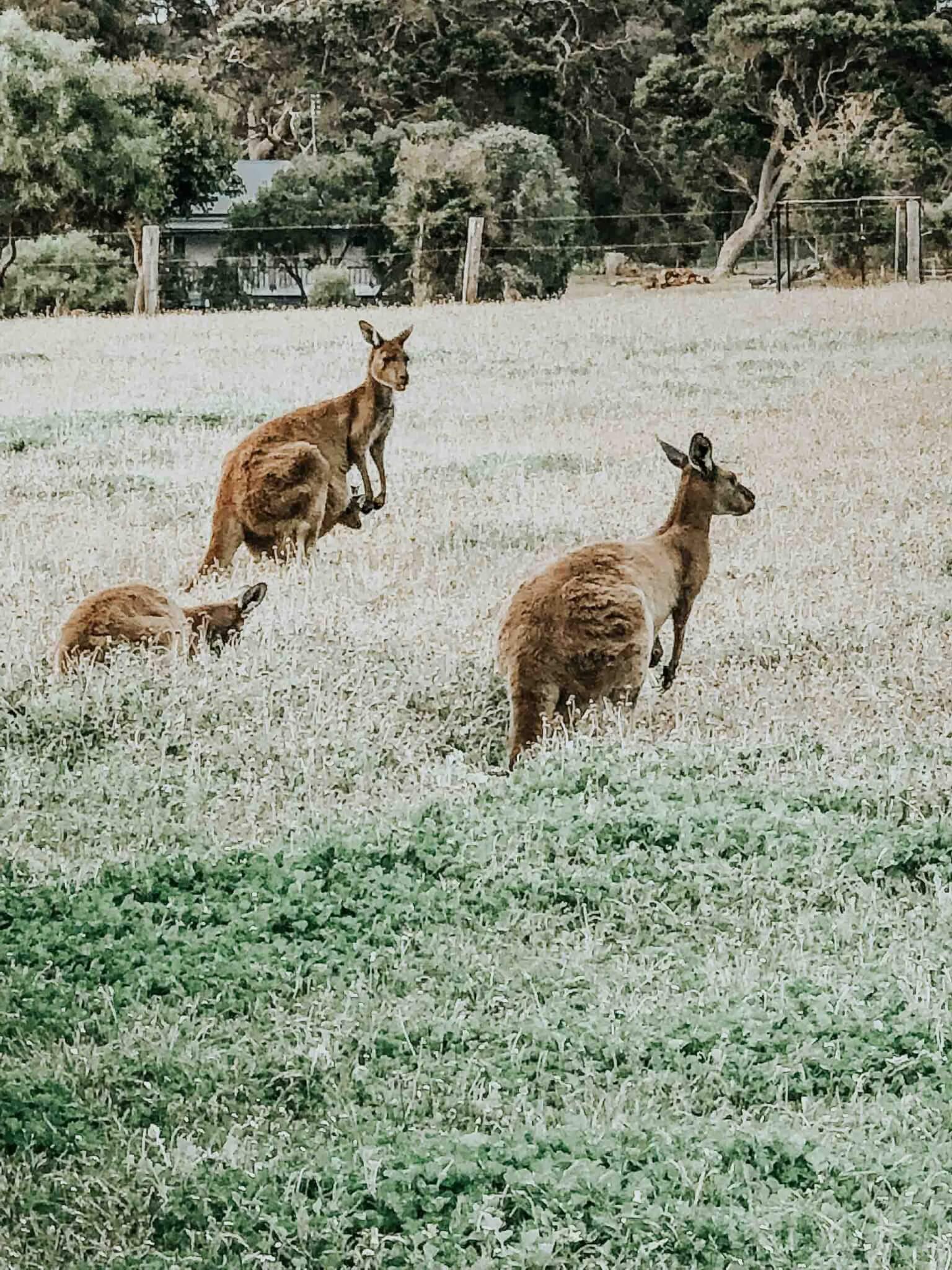 kangaroos in margaret river australia.